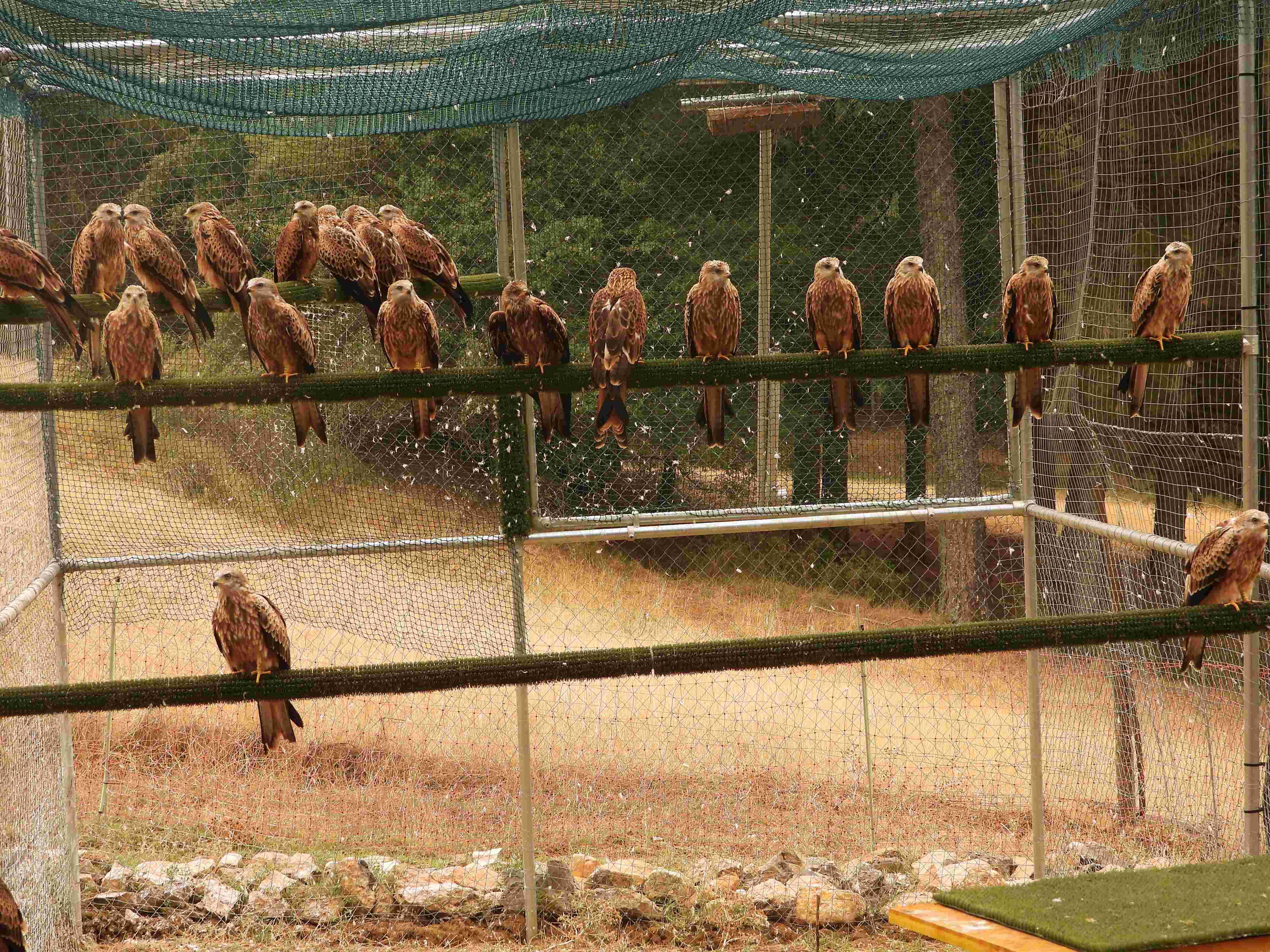 Milanos reales en el jaulón de aclimatación de Cazorla, poco antes de su liberación definitiva. Imagen: Grefa