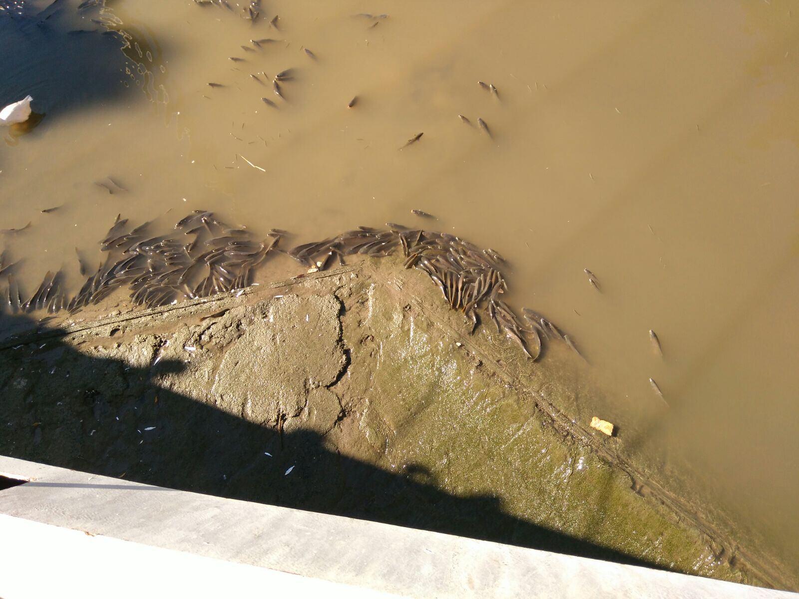 Peces muertos en el río Segura, esta mañana. Imagen: EEA