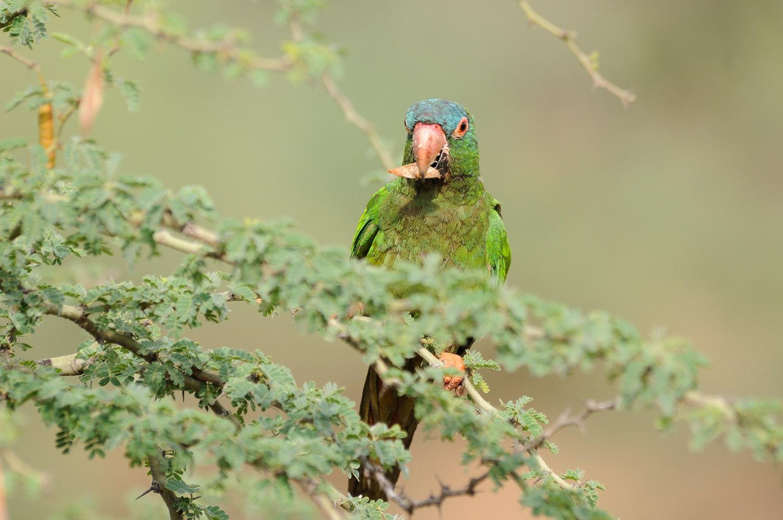 Especie de loro estudiada en Bolivia. / CSIC