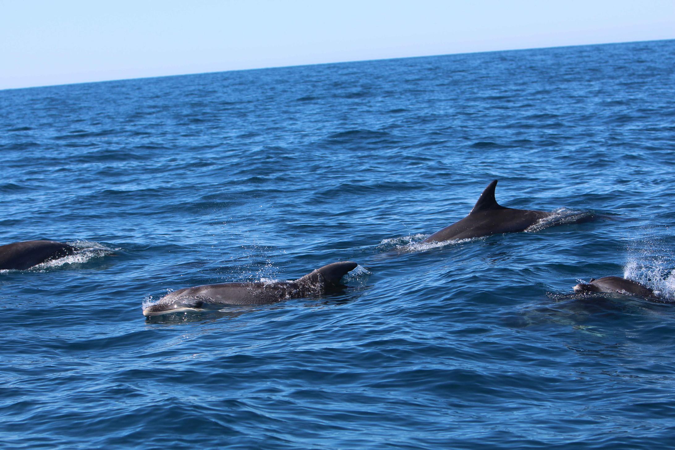 Un grupo de delfines mulares por Columbretes. Imagen de archivo: Generalitat Valenciana