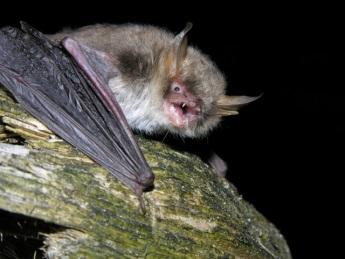 Ejemplar de murciélago ratonero críptico ('Myotis crypticus'). Imagen: EBD / CSIC