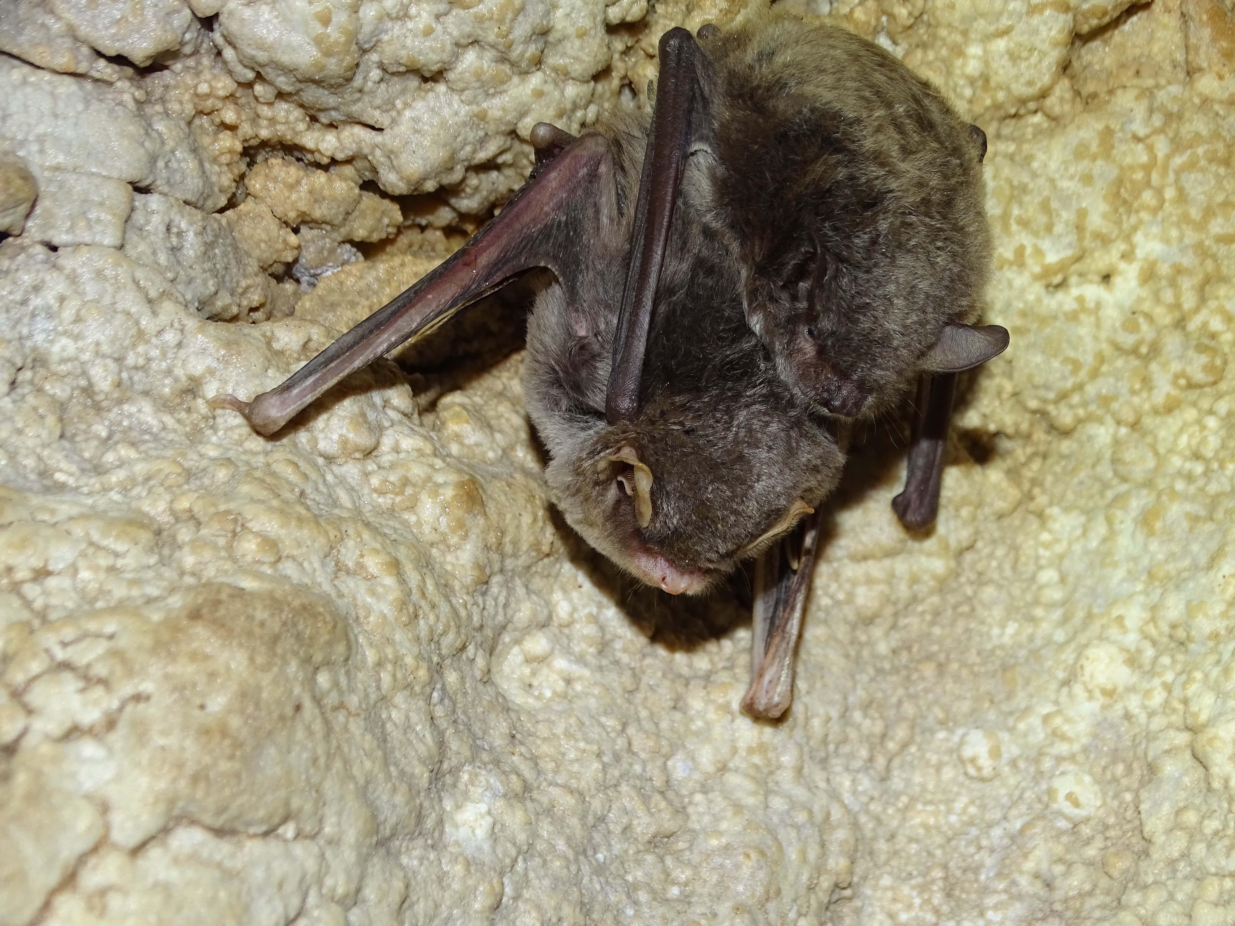 Dos murciélagos, uno de cueva y otro 'de capaccini', juntos. El primero es 'Vulnerable' y el segundo está 'En peligro de extinción'.  Imagen: ANSE