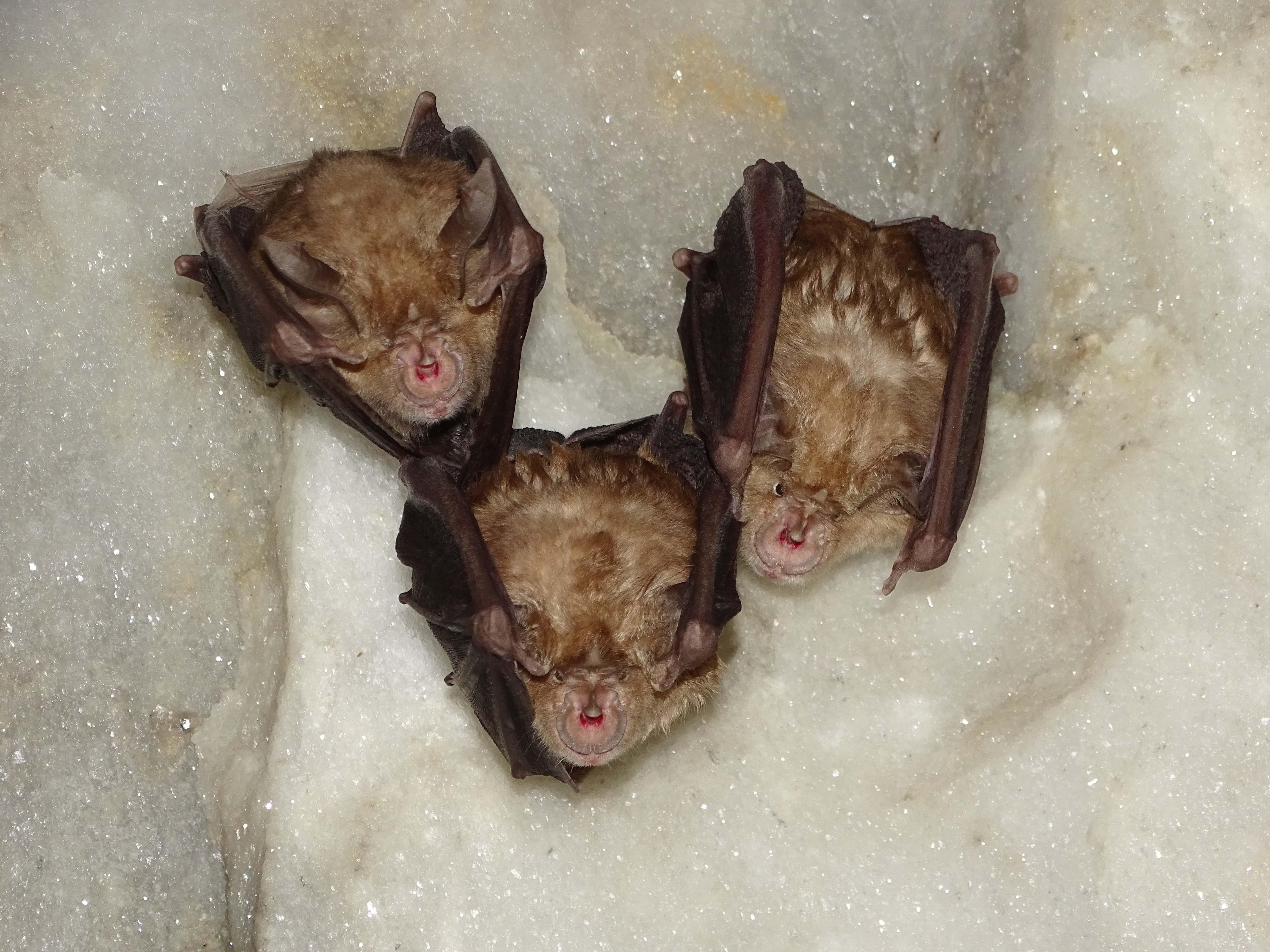 Tres ejemplares de murciélago grande de herradura. Imagen: ANSE