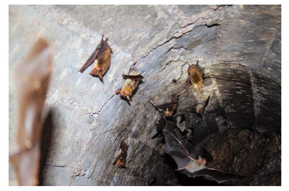 Grupo de 'Myotis myotis' durante una de las visitas de 2019.  Imagen: CARM