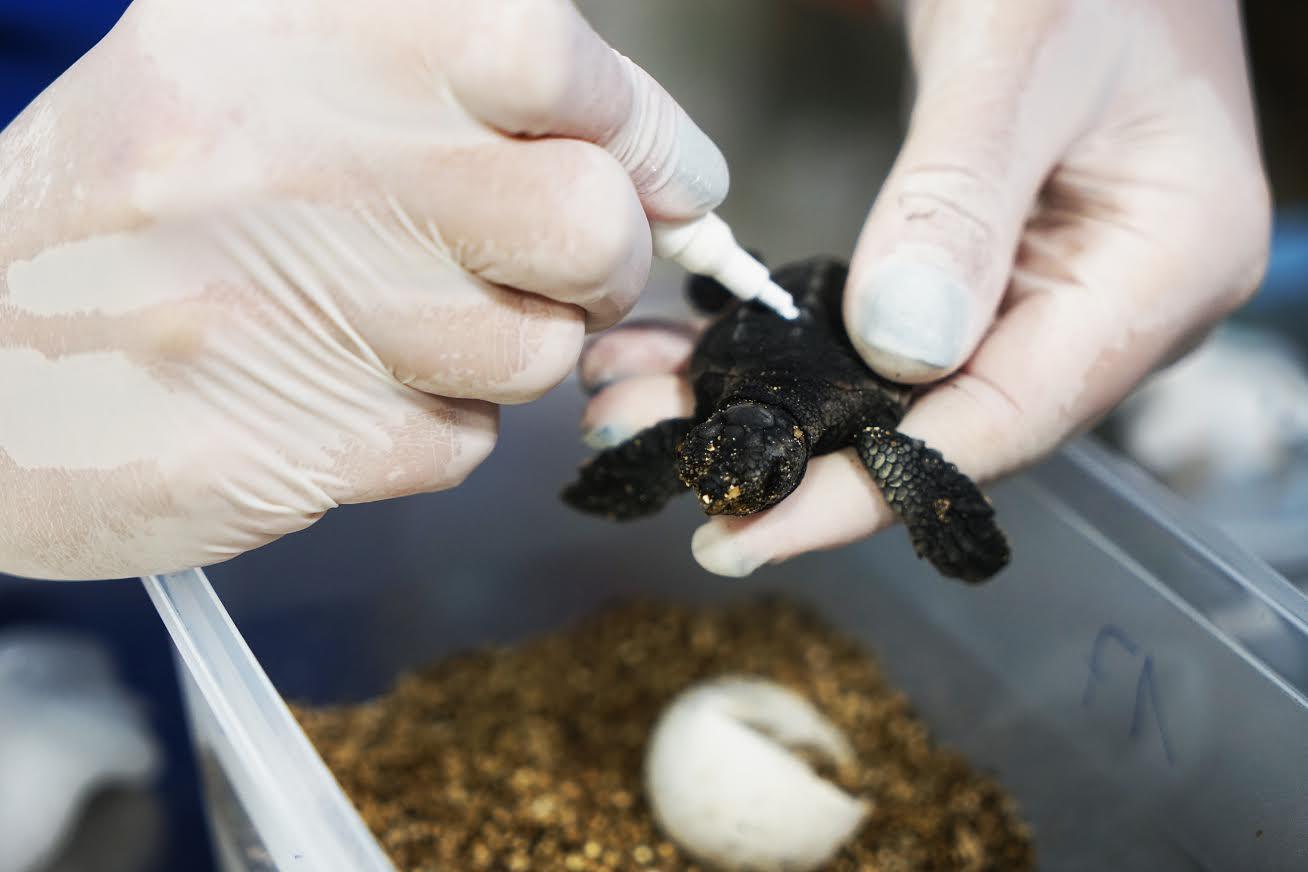 Marcaje de una de las pequeñas tortugas. Imagen: Fundación Oceanogràfic
