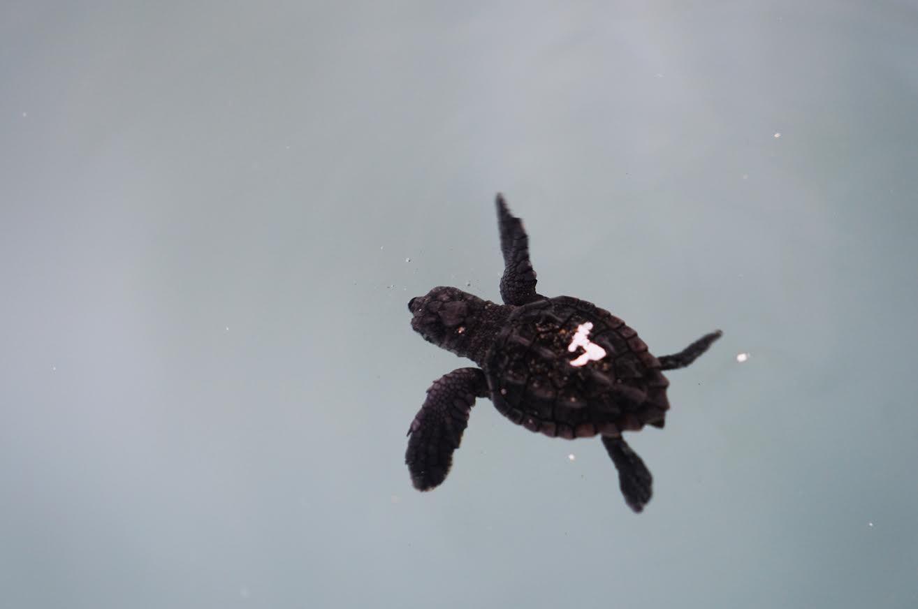 Primeros nados de uno de los ejemplares recién nacidos. Imagen: Fundación Oceanogràfic