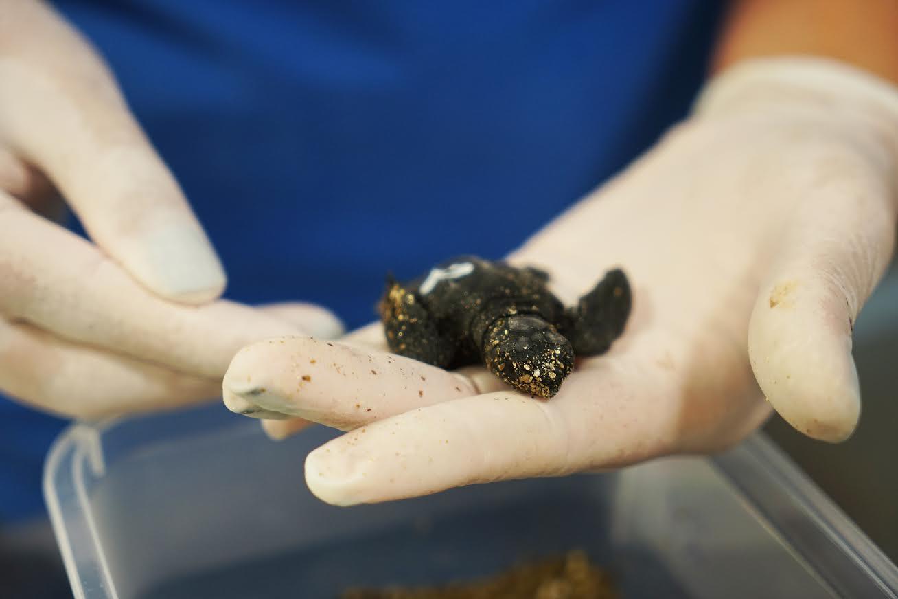 Una nueva tortuga es observada por sus cuidadores. Imagen: Fundación Oceanogràfic