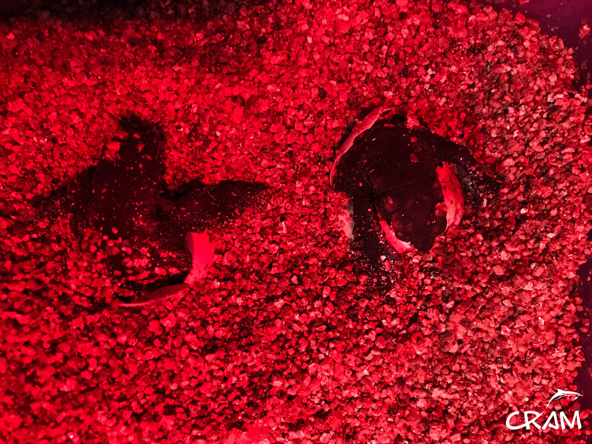 Nacimiento de las tortugas de Barcelona, a finales de agosto. Imágenes cedidas por CRAM