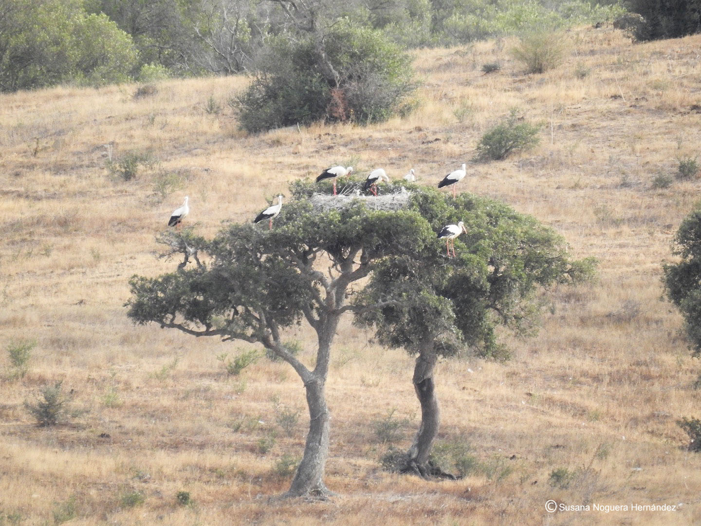 Dormidero sobre varias encinas. La Janda es fundamental para el descanso y la alimentación de las aves. Imagen: Susana Noguera Hernández