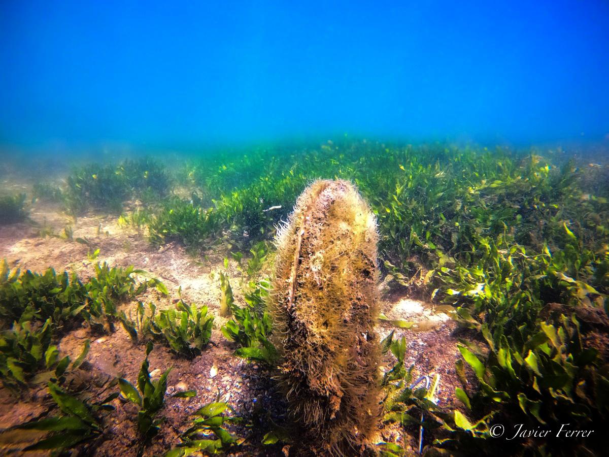 Individuo vivo de 'Pinna nobilis' en la laguna del Mar Menor, junio 2020. Imagen: Javier Ferrer / IEO
