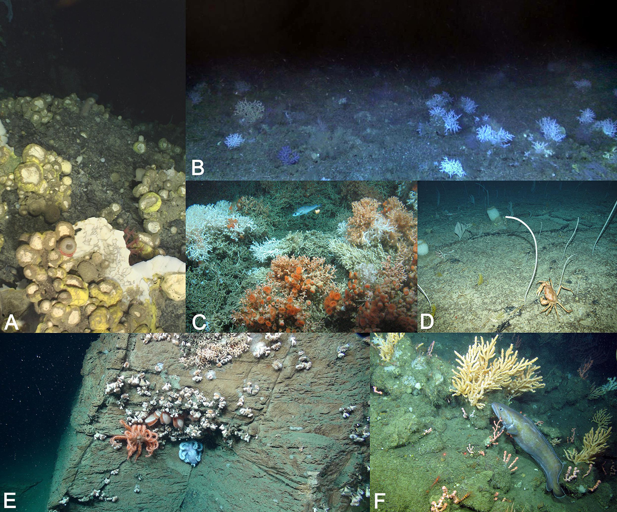 Diversidad de los ecosistemas marinos vulnerables. Imágenes: (A) Department of Fisheries and Oceans, Canada. (B) Indemares project. (C) J.M. Roberts, University of Edinburgh. (D) Atlas project. (E-F) Steve Ross, University of North Carolina Wilmington