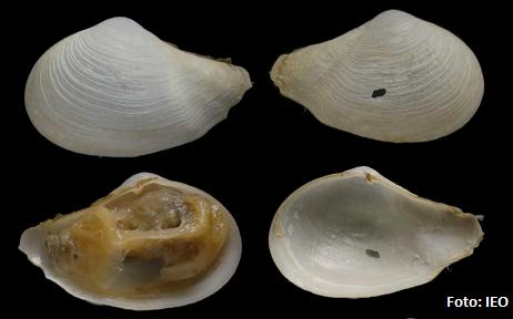 Ejemplar de la nueva especie Myonera atlasiana, perteneciente a una familia muy bien representada en el mar profundo, cuyo nombre está dedicado al proyecto europeo Atlas. Imagen: IEO