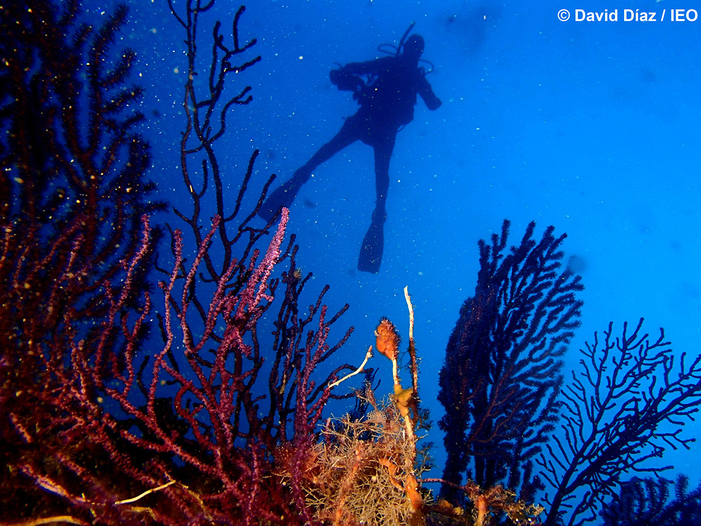 Científicos buceando entre gorgonias en las islas Columbretes. Imagen: David Díaz / IEO