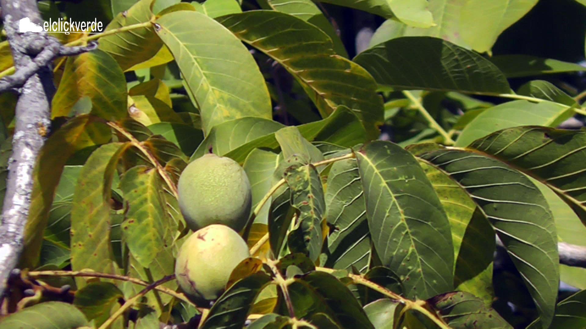 Las nueces también pueden crujir en estas fechas, según se cuenta en Coy.
