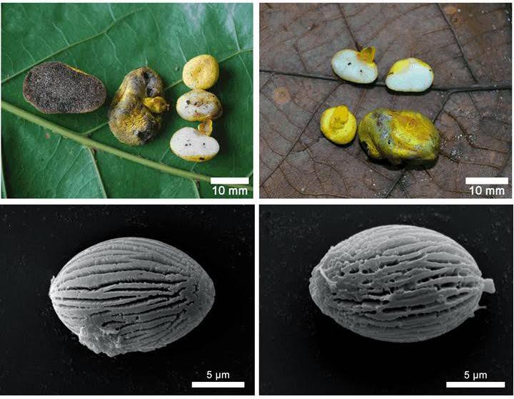 Varias tomas del nuevo hongo. Imagen: RJB