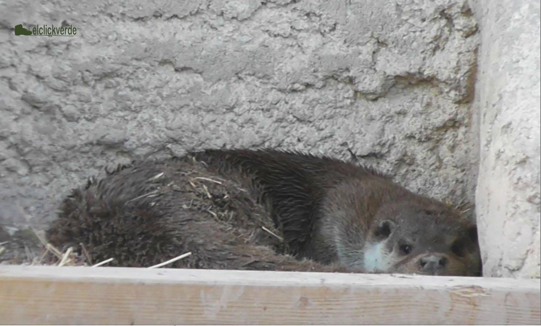 Imagen de archivo de una nutria en un centro de recuperación. ecv