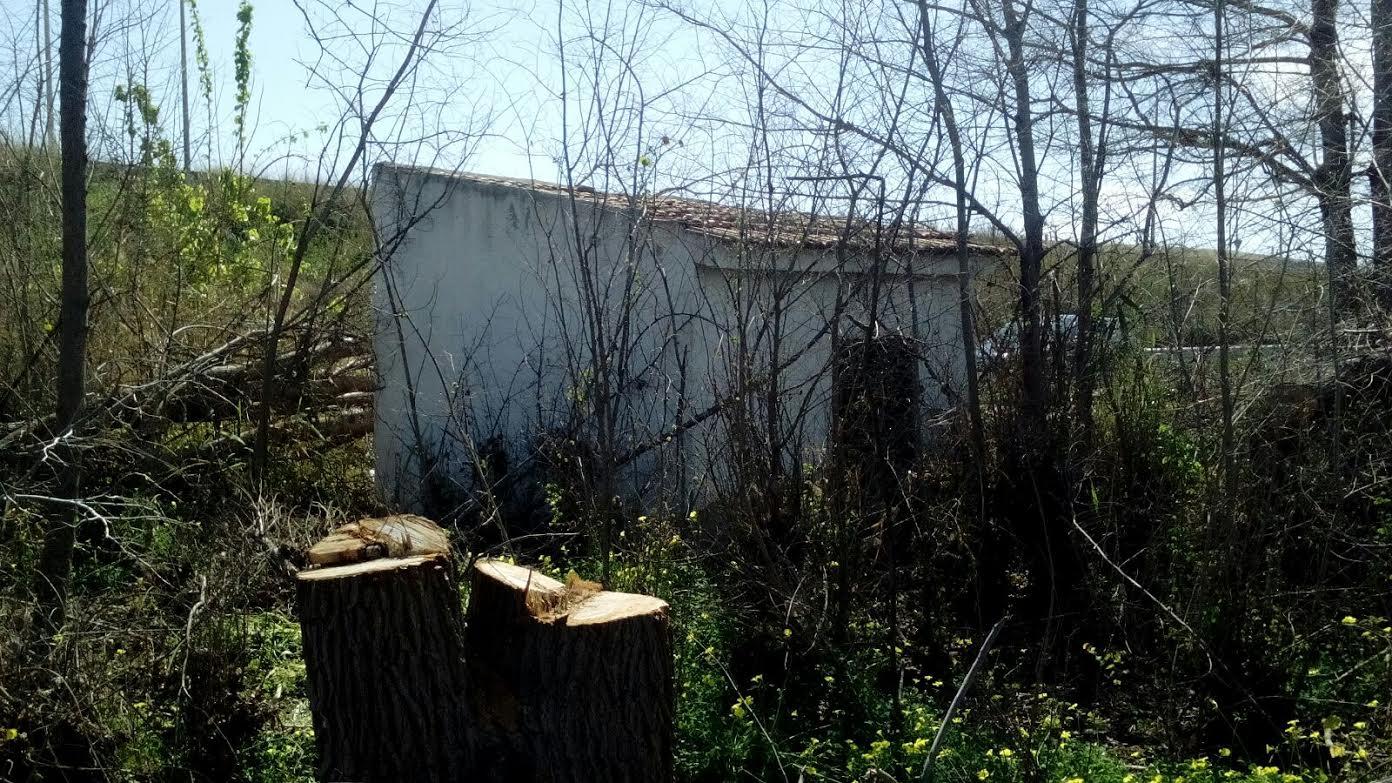 Troncos cortados de la antigua olmeda. Imagen: Huermur