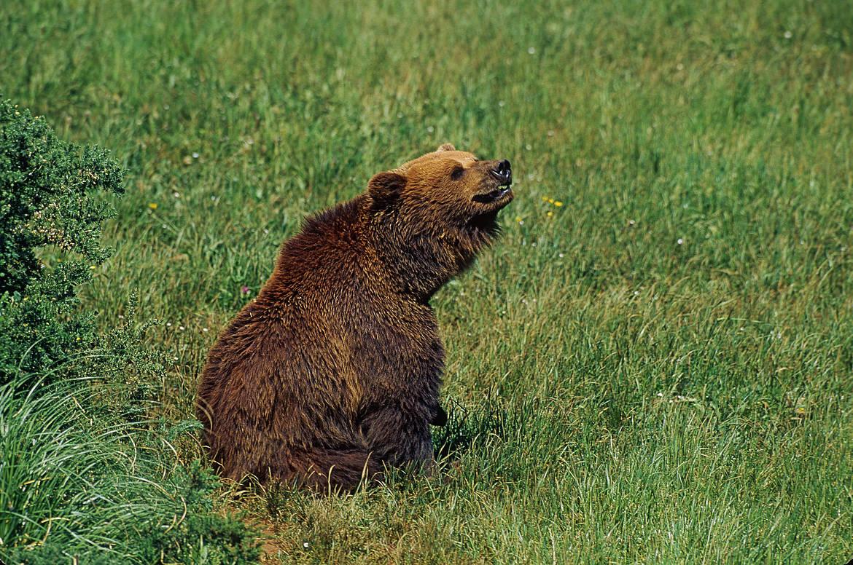 Ayer abatieron a dos hembras de oso pardo, una con una cría, en sendas cacerías celebradas en Castilla y León, y en el Pirineo aragonés. Imagen de archivo de WWF