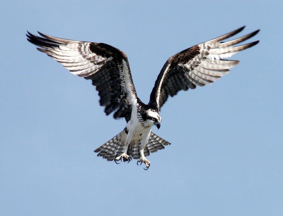 Una espectacular imagen de archivo de un águila pescadora. Imagen: Pixabay
