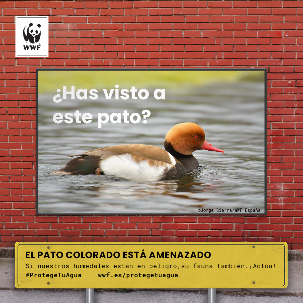 El pato colorado, una especie amenazada. Imagen: WWF
