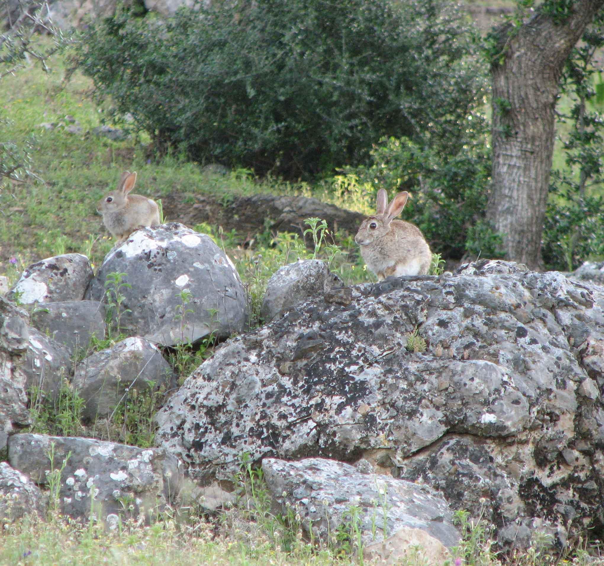 El conejo, protagonista de las actuaciones de mejora de habitat del lince ibérico. Imagen: Proyecto LIFE Iberlince