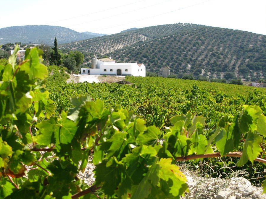 "Paisaje típico de Viñas de la zona de Montilla-Moriles (Córdoba-España). Foto: Consejo Regulador DOP ""Montilla-Moriles"". Imagen: Metacomunicación"