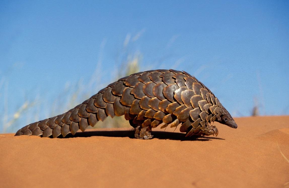 Un pangolín. Imagen: Photoshot License LTD / Alamy Stock Photo / WWF