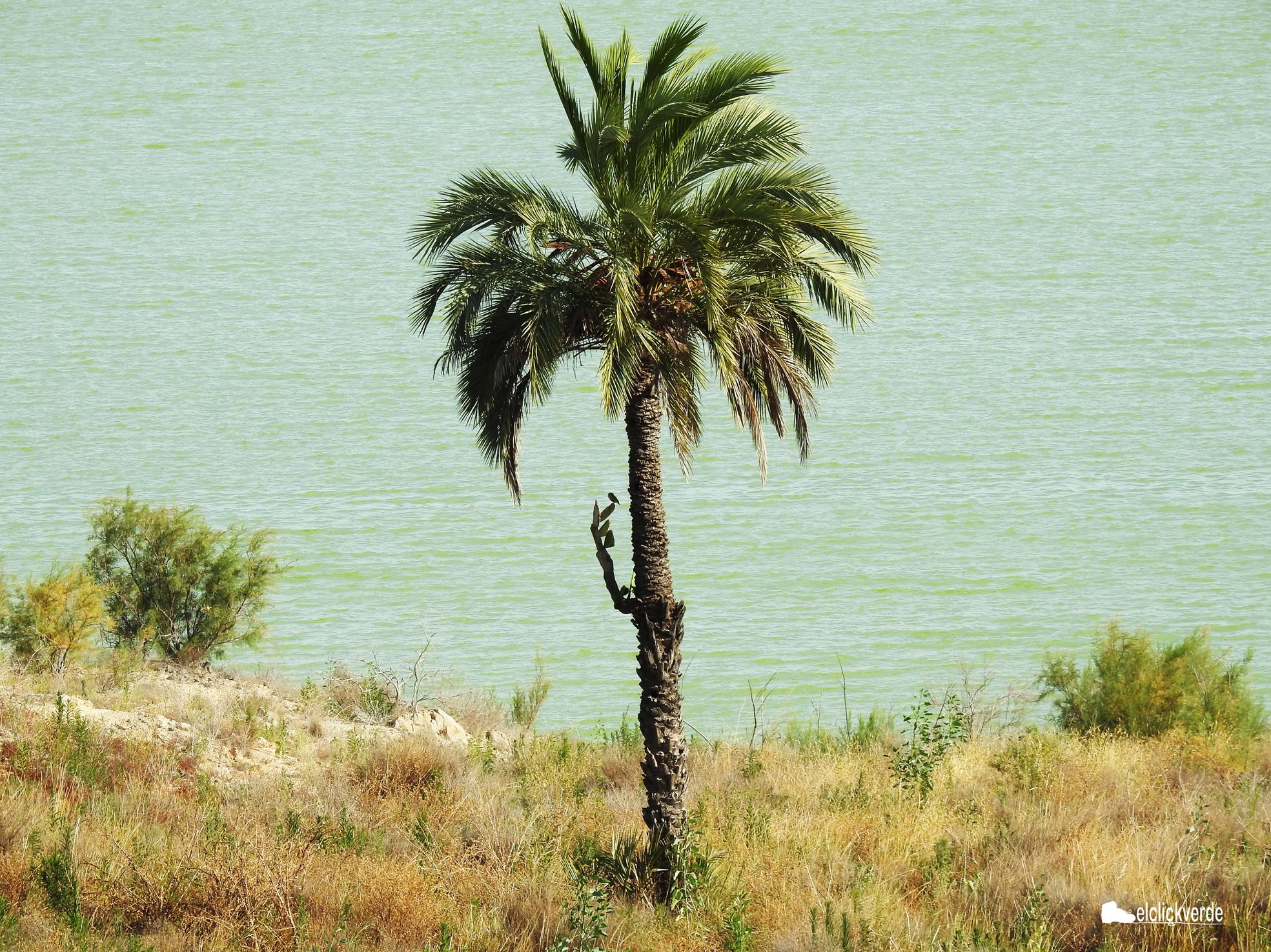 La palmera, con una chumbera a modo de brazo, da la bienvenida al pantano. Además, presenta varios agujeros practicados probablemente por un pájaro carpintero o una carraca