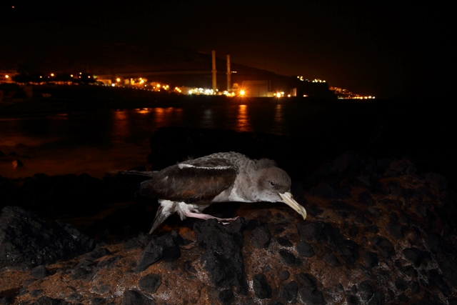 Pardela cenicienta deslumbrada por la contaminación lumínica. Imagen: Beneharo Rodríguez