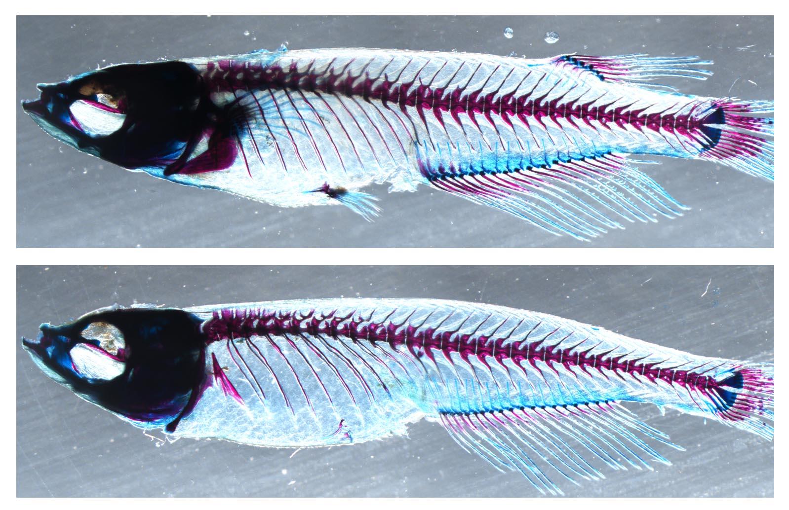 Arriba, un ejemplar silvestre con aleta dorsal y aleta pectoral y, abajo, un ejemplar mutante sin ellas. / CSIC