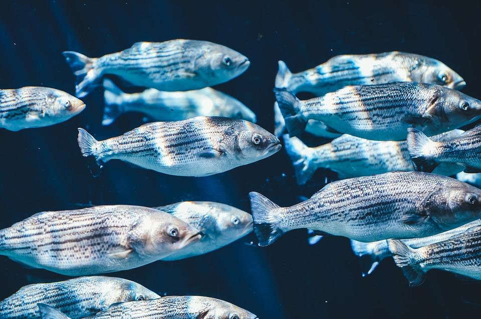 Un banco de peces. Imagen: Pixabay