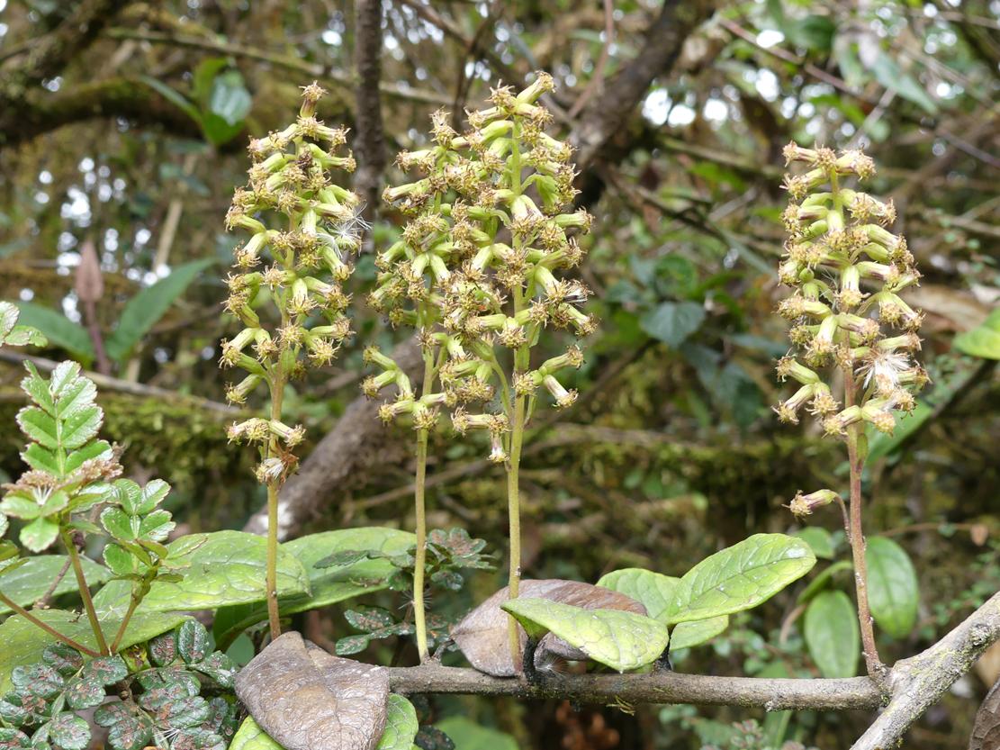 Una de las dos especies recién descubiertas, la 'Pentacalia aedoi'. Imagen: RJB-CSIC