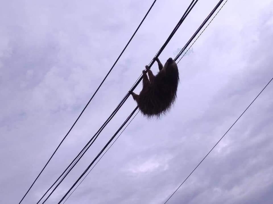 El perezoso de dos dedos deambula por el cableado. Imagen: Corporación Autónoma Regional del Valle del Cauca (CVC)