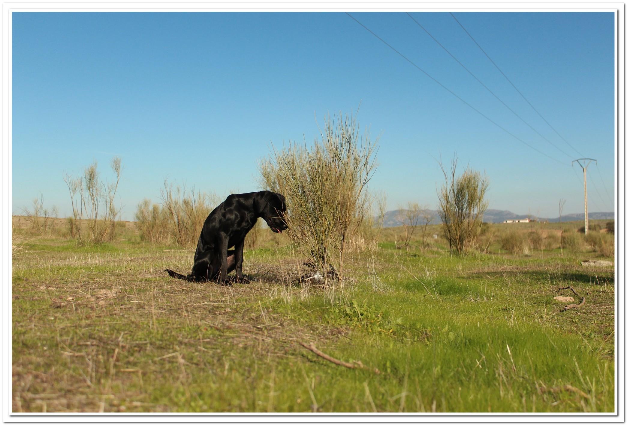 Musa, una de las perras del proyecto realiza un marcaje sobre una muestra. Imagen: AMUS