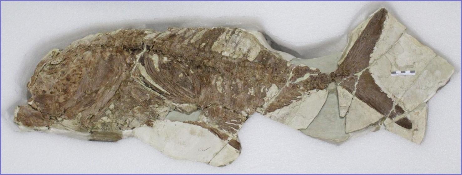 El pez fósil que puede verse en el MAM. Imagen: CARM