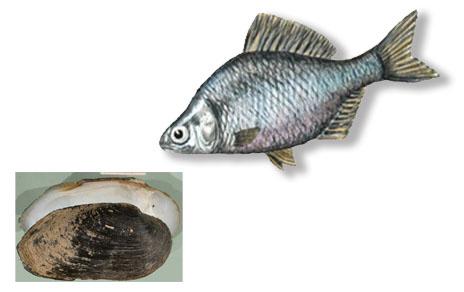 A la derecha, el pez invasor (Imagen: MNCN). Abajo a la izquierda, un ejemplar de 'Margaritifera auricularia' (Imagen: Francisco Welter Schultes, de http://www.animalbase.uni-goettingen.de/)