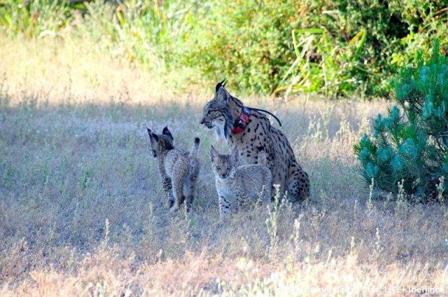 Una lincesa con sus crías. Imagen: LIFE Iberlince
