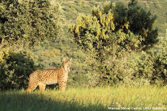Imagen de archivo del proyecto Life+IBERLINCE para la Recuperación de la distribución histórica del lince ibérico (Lynx pardinus) en España y Portugal