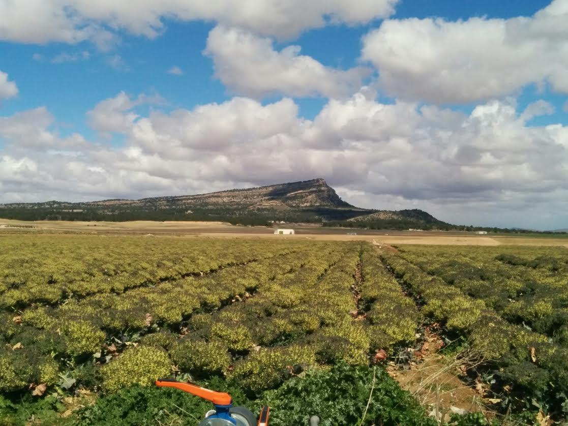 Cultivo intensivo de brócolis abandonados en la finca donde pretenden instalar los macro parques. Imagen: Plataforma Ciudadana Salvemos el Arabí y Comarca