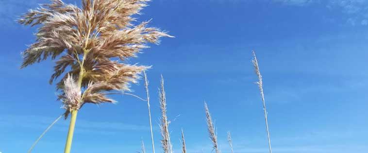 El plumero es una planta exótica invasora. Imagen: SEO/ BirdLife