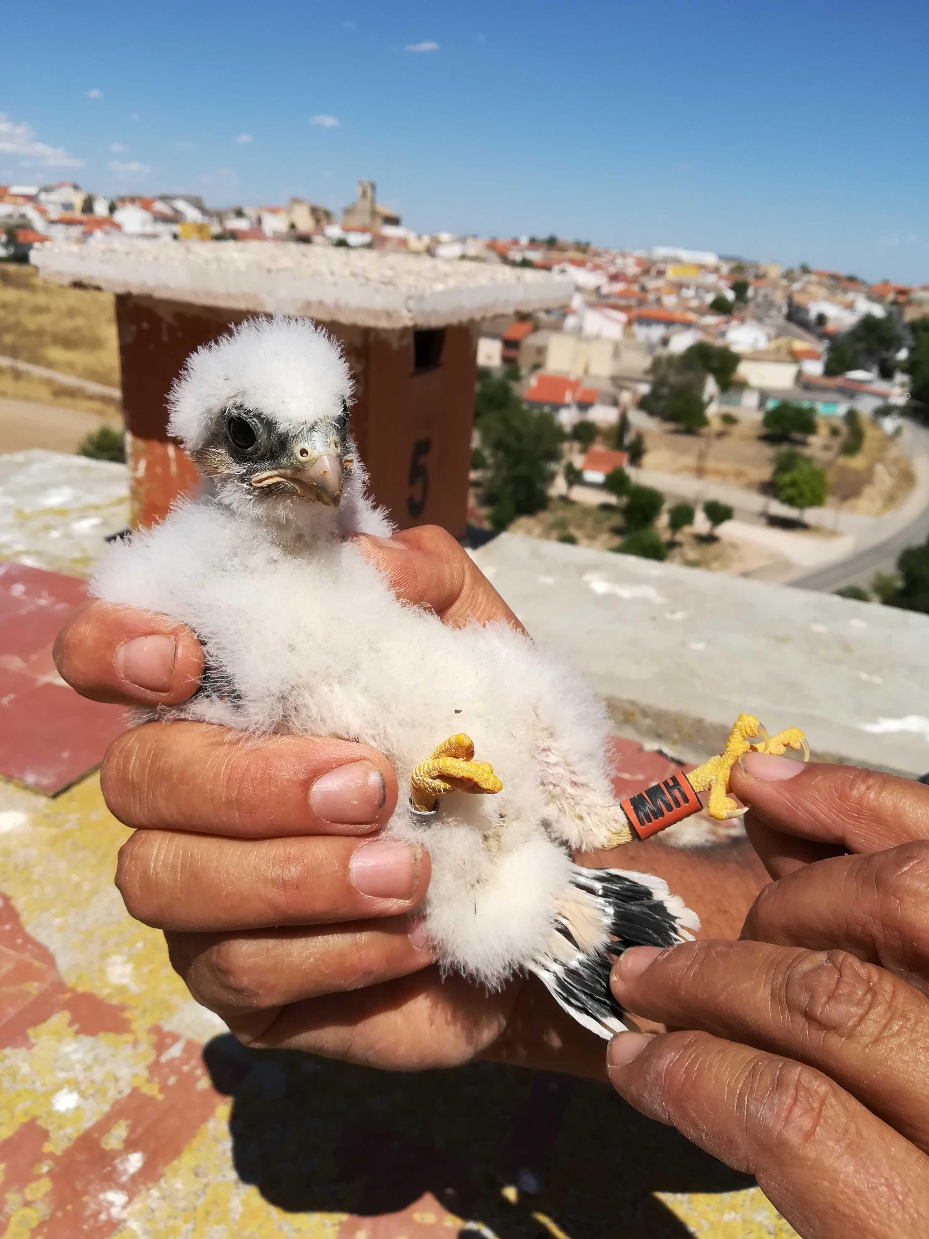 Pollo de cernícalo primilla y, detrás, nidal del silo de Saelices (Cuenca) en el que ha nacido. Imagen: Grefa