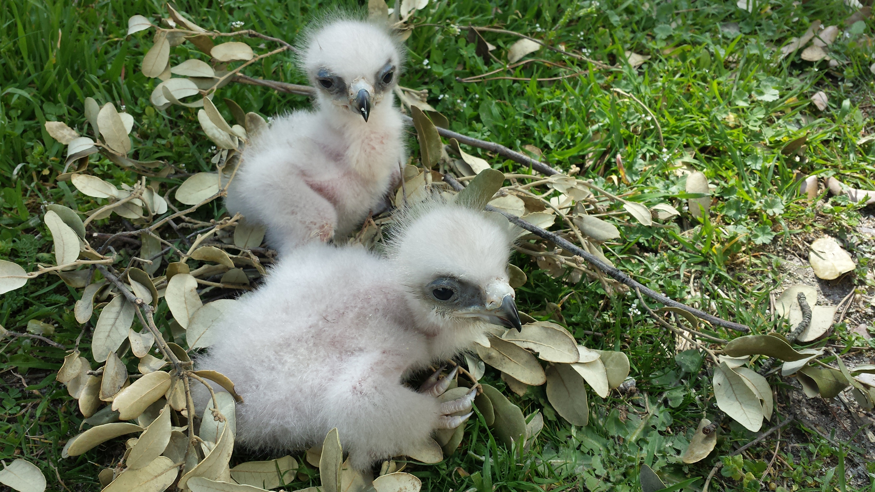 Pollos de águila de Bonelli - Grefa