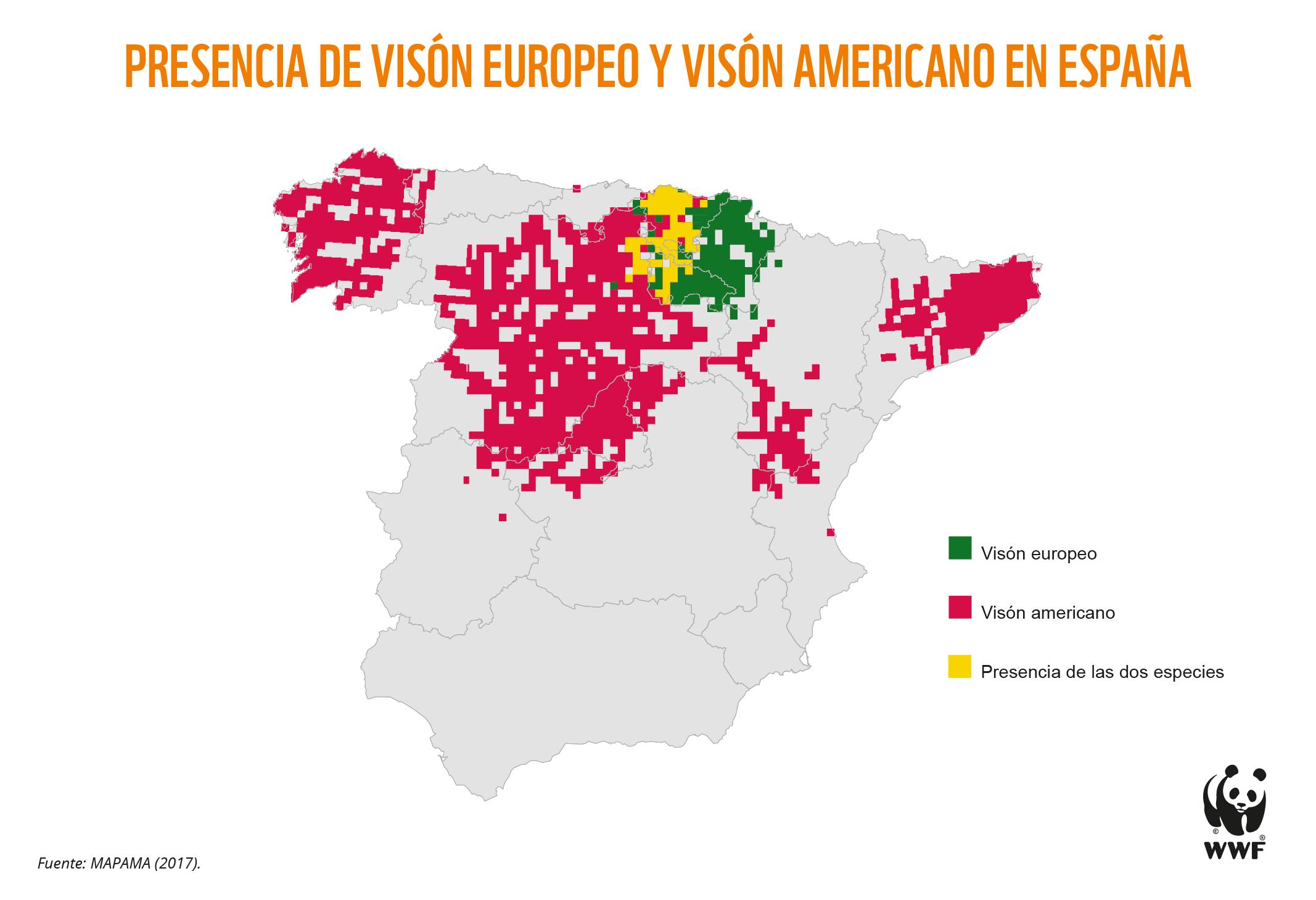 En  España, uno de sus últimos reductos, puede desaparecer en apenas siete años, ya que solo quedan 500 visones europeos. Imagen: WWF