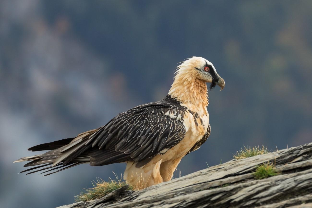 Los quebrantahuesos son una de las aves más amenazadas de Europa. Imagen: Pilar Oliva Vidal / CSIC