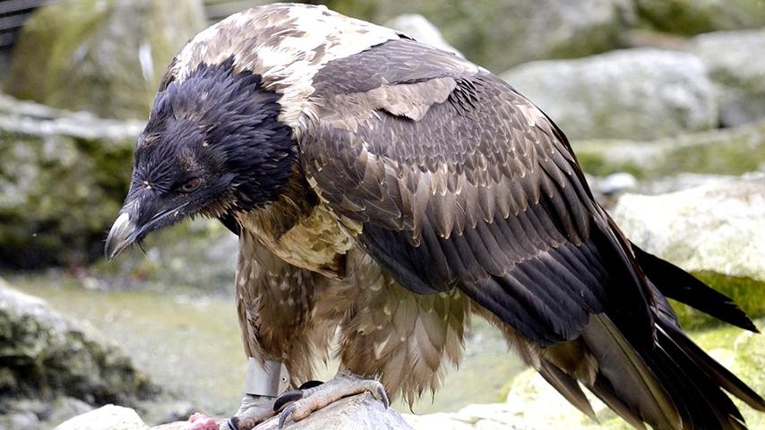 El calcio y el fósforo fueron los elementos más abundantes en los excrementos del nido. Imagen: UCLM