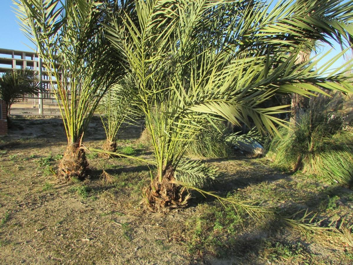 Ramas de palmeras partidas. Imagen: Huermur