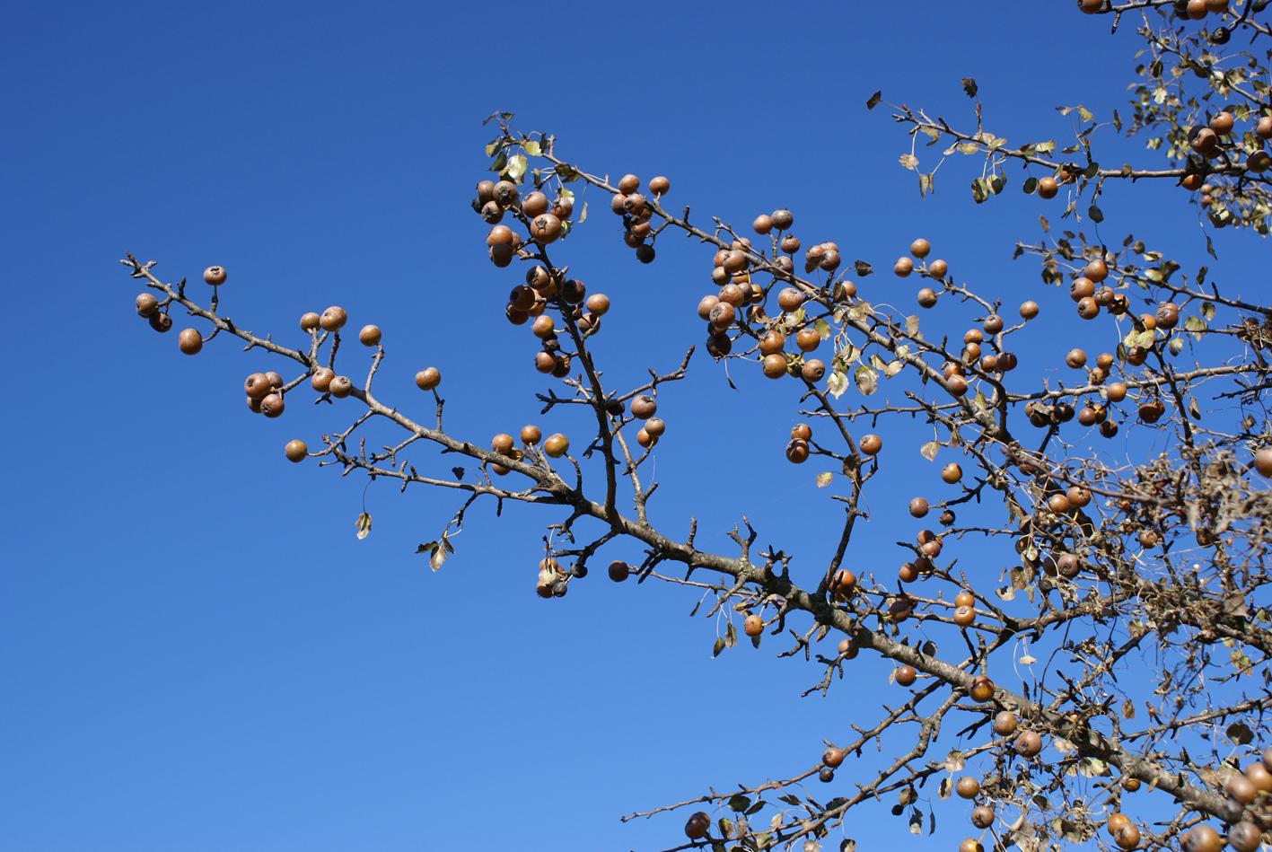 Ramas de piruétano en fruto, Parque Nacional de Doñana. Foto: José M. Fedriani