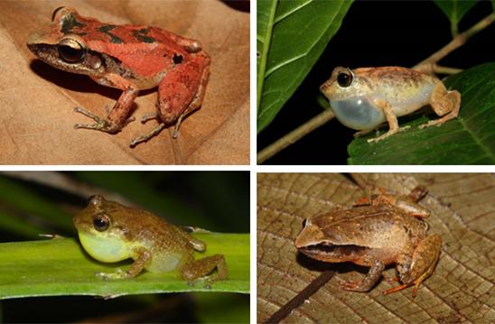 Ejemplares caribeños de anfibios del género 'Eleutherodactylus'. Imagen: Ariel Rodríguez / CSIC