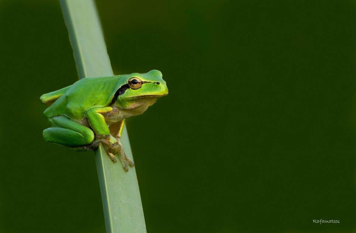 Una preciosa ranita meridional. Imagen cedida por el fotógrafo Rafael Mateos / EEA