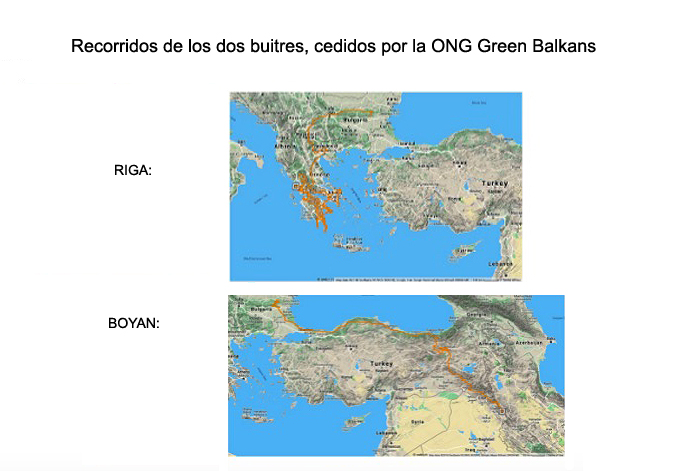 Trayectorias de los dos buitres, del pasado mes de diciembre. Imagen: Green Balkans